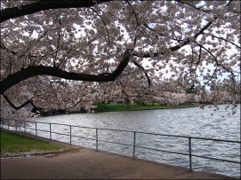 cherry blossoms2