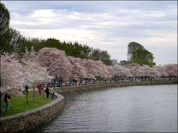 cherry blossoms5