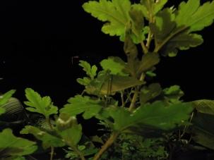 Can you spot the Walking-leaf Katydid?