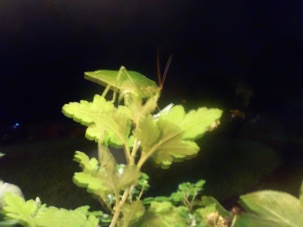 Walking-leaf Katydid atop a plant